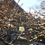 梅を探しにお散歩へ。櫛田神社で、白・紅・ピンクの共演を見ました。