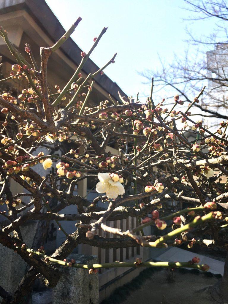 櫛田神社の、開き出した梅