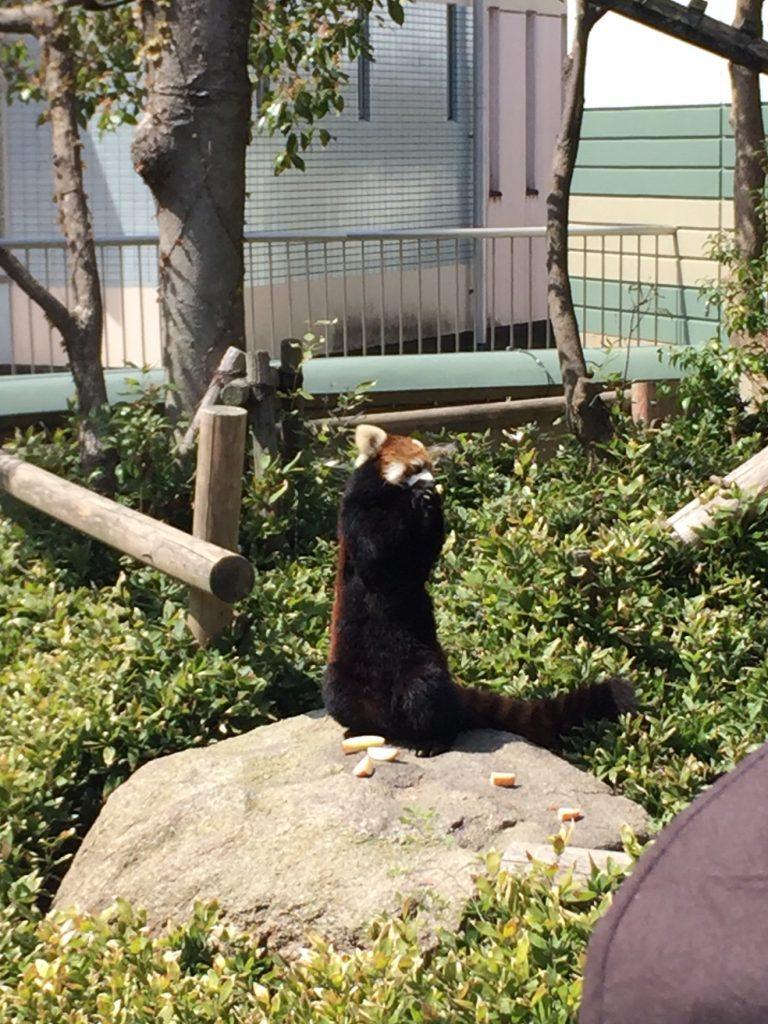 レッサーパンダのおやつタイム