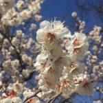 福岡城址の梅園に行ってきました。ベストなタイミングに、嬉しくなりました♪