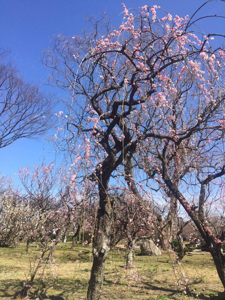 福岡城址の、華やかな梅園