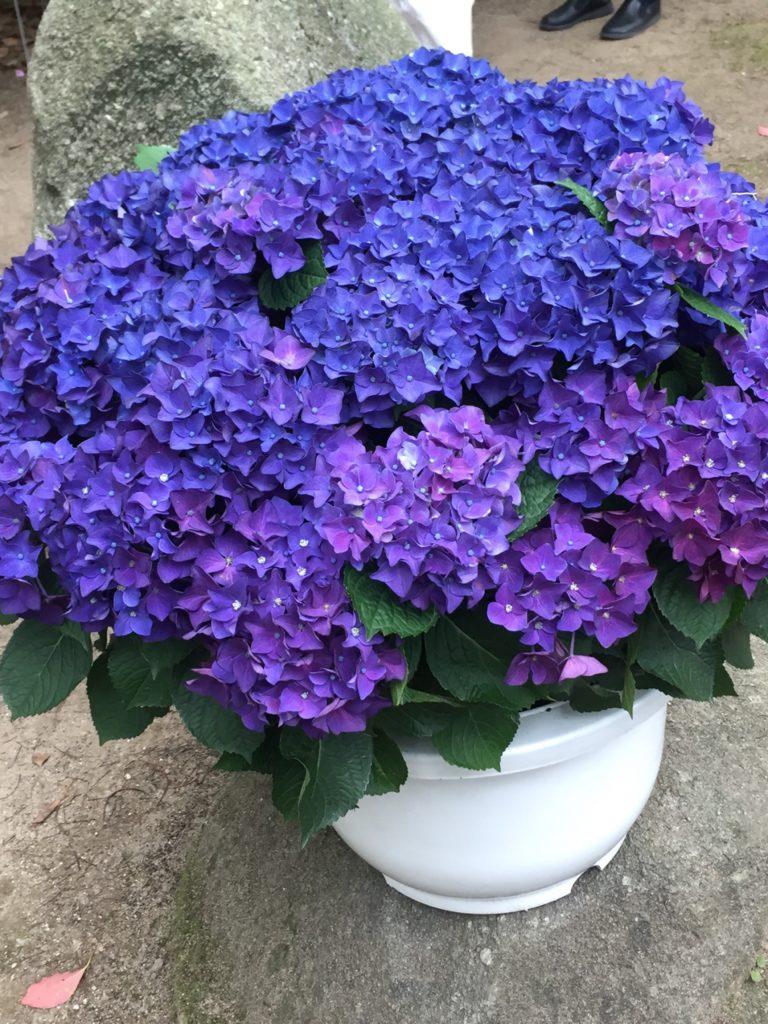 紫の紫陽花
