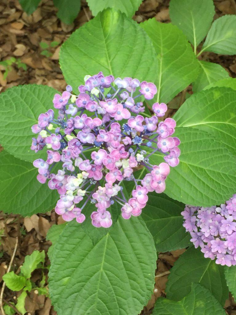くるんと巻いたような紫陽花