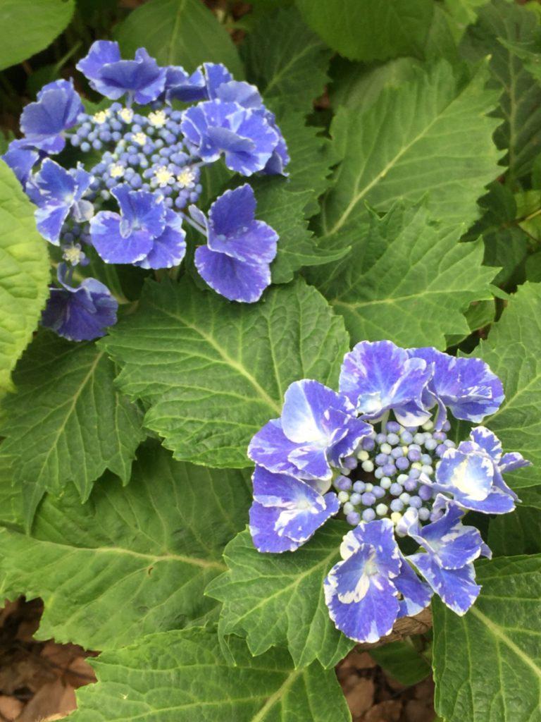まだら模様の紫の紫陽花