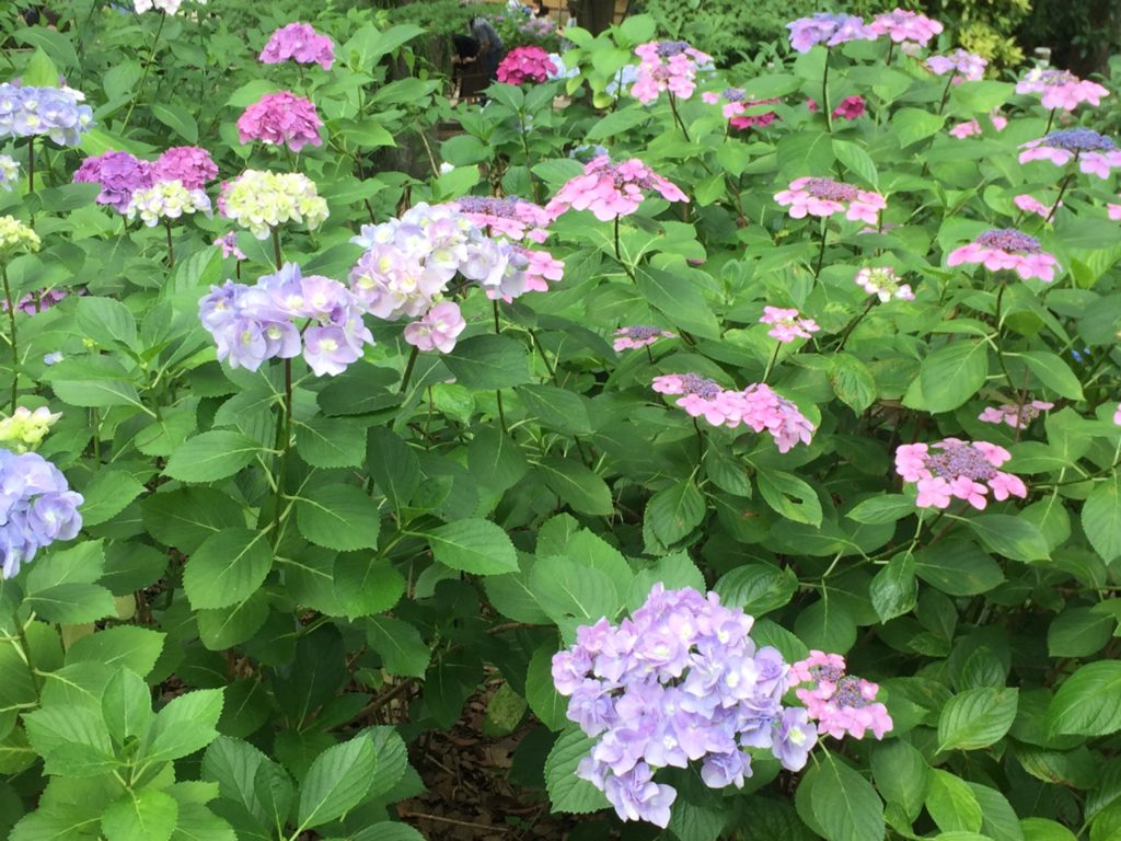 パステルカラーの可愛らしい紫陽花