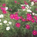秋色の福岡市動植物園へ。ピンク色のコスモスに、故郷を思う。