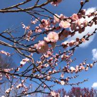 福岡城跡の梅