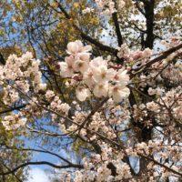 牡丹芍薬園の、見事な桜