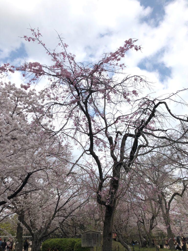 紅八重しだれ桜