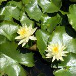 福岡城跡の蓮と睡蓮と。花の時期は、お散歩三昧。美しい光景に、心躍る。
